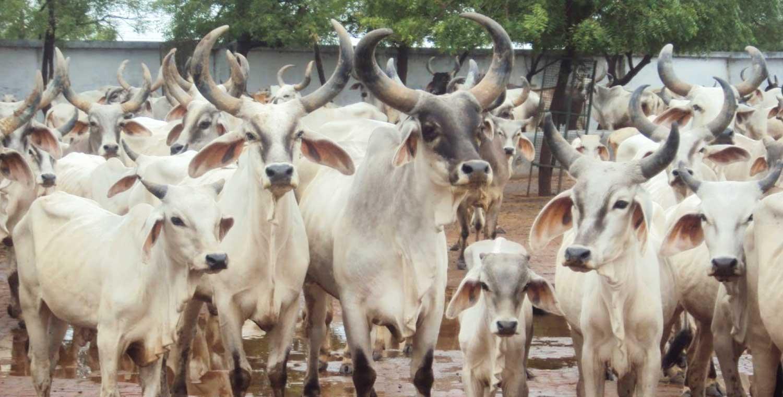 Jaipur Village Visit (Volunteering for Animal Care)